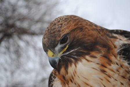 Elise, red-tailed hawk
