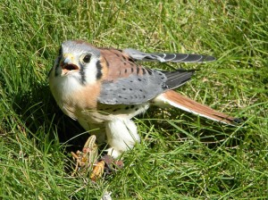 Hendrix, American Kestrel | Black Hills Raptor Center