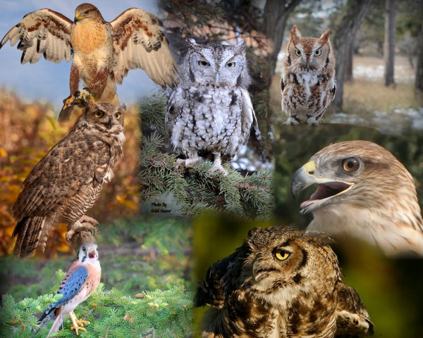 Donate to support the Black Hills Raptor Center, Rapid City, SD