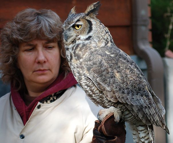 Maggie & Icarus, great horned owl