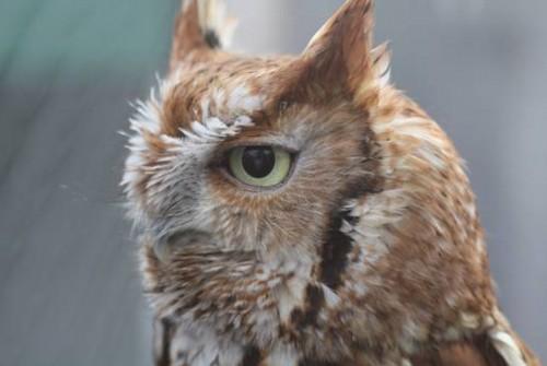 Little Red, Eastern screech owl