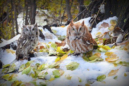 Wolf & Little Red, Eastern screech owls