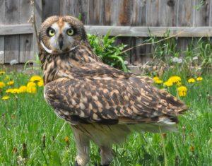 Photo Contest, Shorteared owl, Blackhills Raptor Center, Rapid City, SD