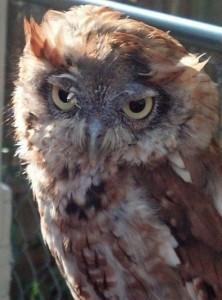 Little Red Riding Hoot, Eastern Screech Owl