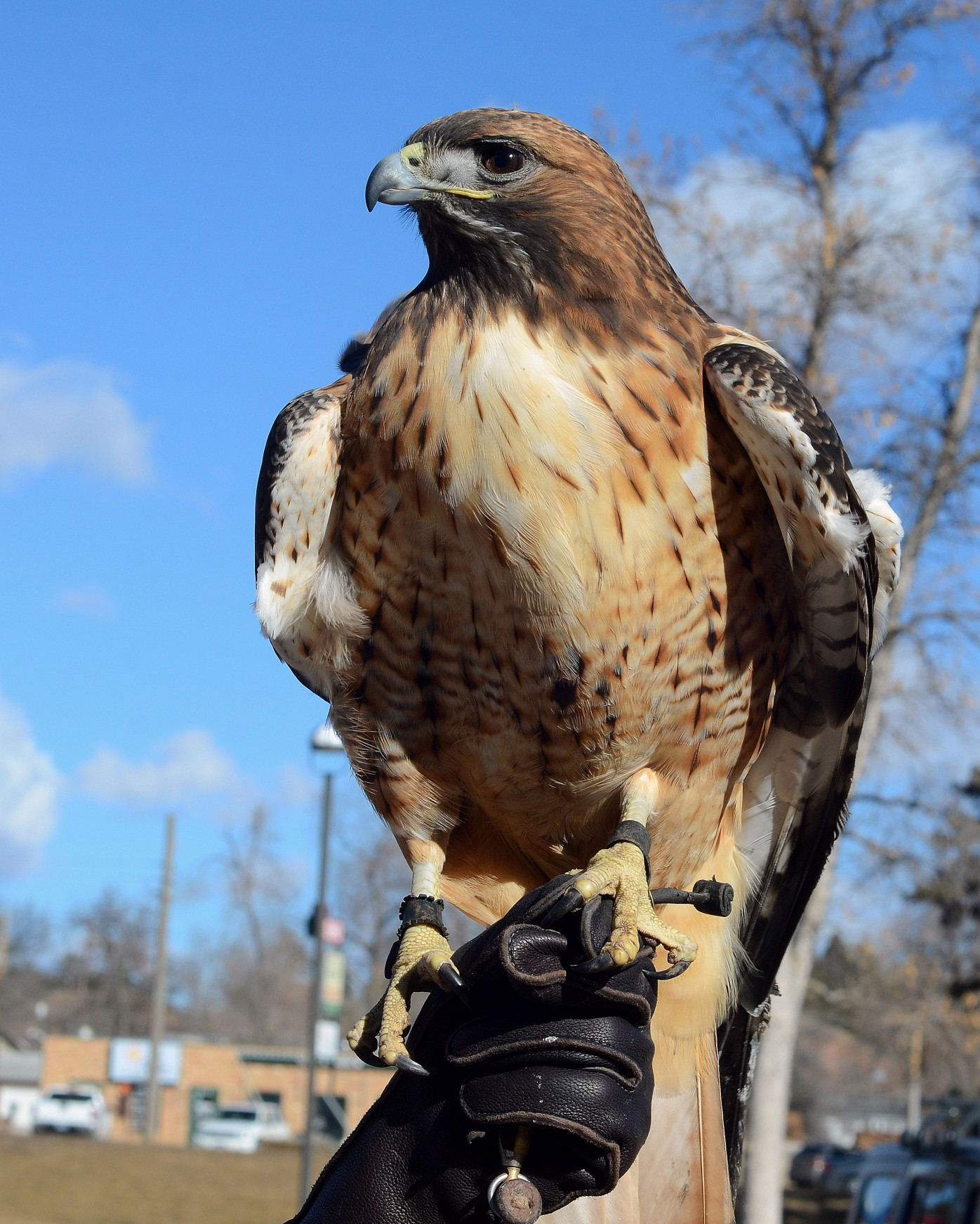 Photograph of the Red Tailed Hawk perched on bird handler's glove.