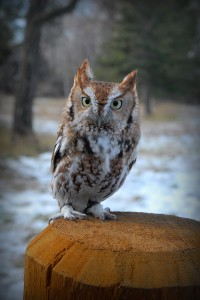Photograph of The Eastern Screech Owl perched on a fence post. | Black Hills Raptor Center