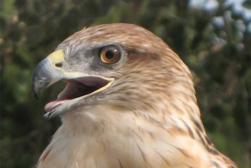 Phoenix, Ferruginous Hawk