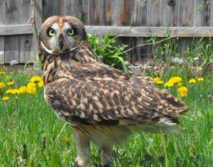 Photo Contest, Shorteared owl, Blackhills Raptor Center, Rapid City, SD