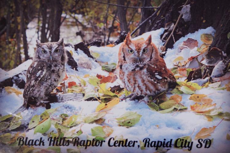 Screatch-owls-magnets Black Hills Raptor Center, Rapid City, SD