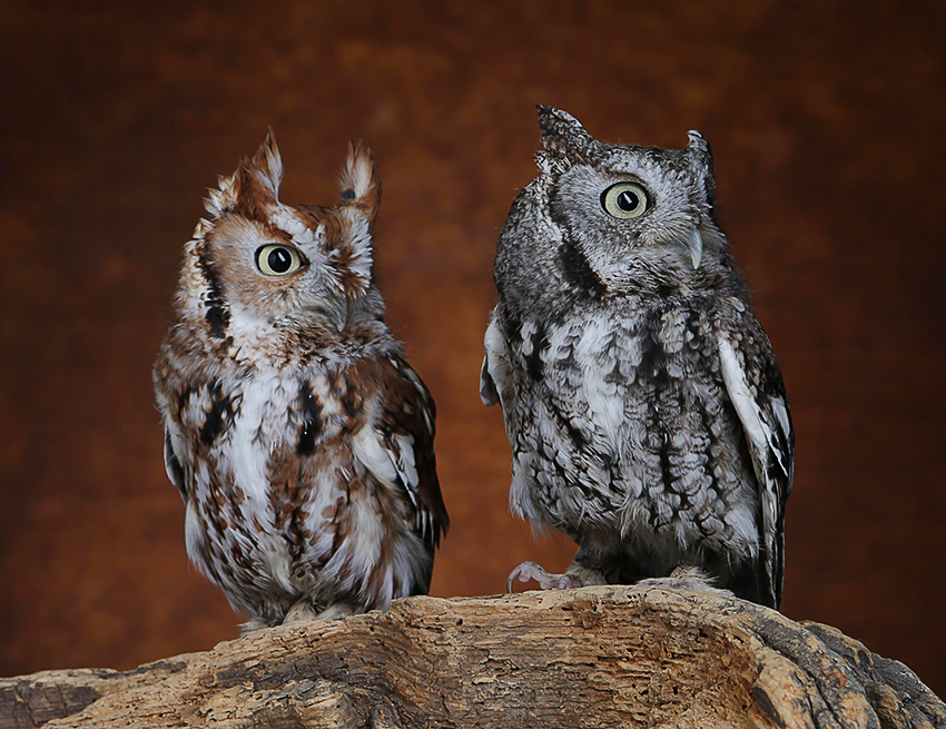 Little Red & Wolf Eastern Screech Owls