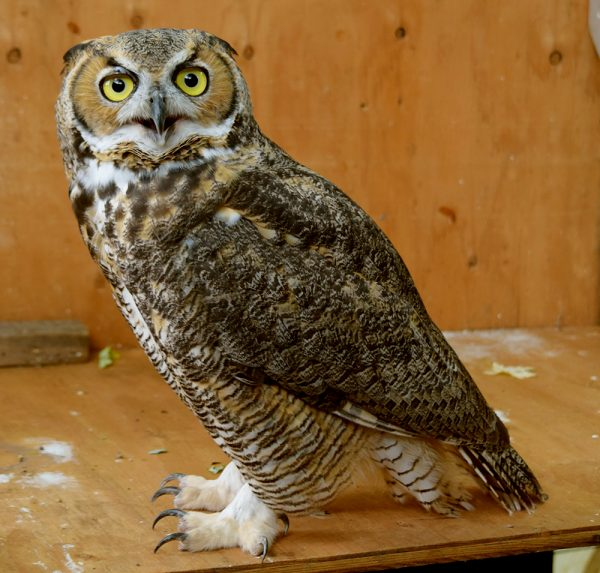 Aldo the Great Horned Owl