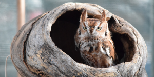 Eastern Screech Owl in log